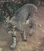 Bear Hollow bobcat